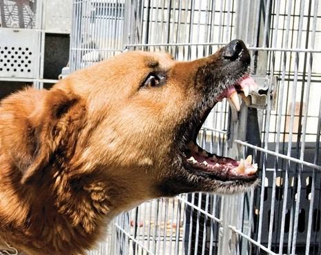 האינטנסיביות של המחלה בכלבים היא חסרת תקדים. כלב בהסגר  צילום: יגאל לוי