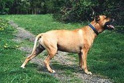 כלב. אילוסטרציה ויקיפדיה